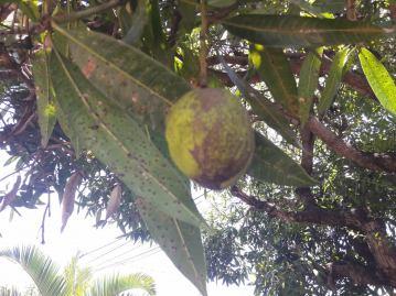 Mangue floue.jpg*